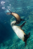Sea lion underwater. Sea lion seal while playing underwater Stock Photography