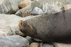 Sea lion 7817 in Valparaiso Peru Royalty Free Stock Images