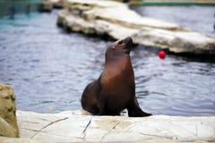 Sea Lion in Vienna Schonbrunn Zoo. Stock Photo