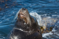 The sea lion Royalty Free Stock Image