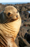 Sea Lion on the Volcanic Rocks Stock Photos
