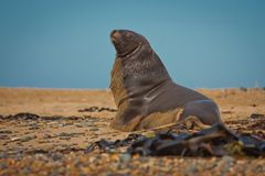 Sea Lion in Waipapa point in New Zealand. Marine wildlife royalty free stock photo