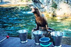 Sea lion is waiting feed Royalty Free Stock Image