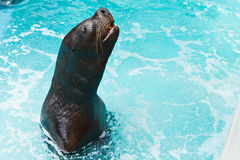 Sea lion waiting the fish Royalty Free Stock Images