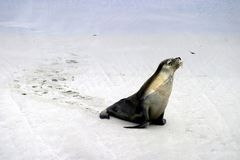 Sea Lion Walk Royalty Free Stock Image