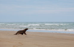 Sea Lion walking on the beach, Otago New Zealand Stock Images