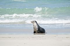 A sea lion. The sea lion is walking on the beach at Seal Bay royalty free stock images