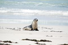 A sea lion. The sea lion is walking on the beach at Seal Bay stock image