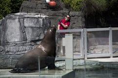 Vancouver Aquarium Sea Lion show stock photography