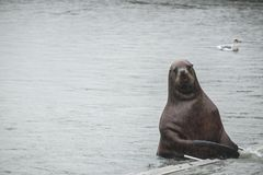 Sea lion is watching you Royalty Free Stock Photos