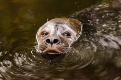 Sea Lion In Water Royalty Free Stock Photography