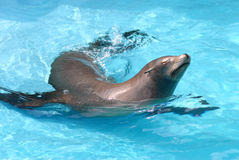 Sea lion in the water. Blue Stock Photo