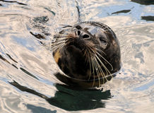 Sea lion in the water Stock Image