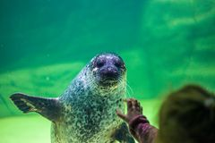 A sea lion waves a child with a paw under the water. Klaipeda. Lithuania. Front view. royalty free stock photos