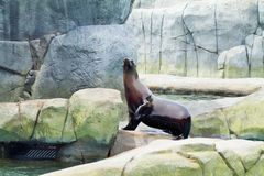 Sea Lion. Waving to the crowd Stock Photography
