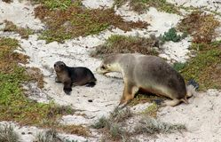 Sea Lion whit puppy On the white beach on sun at Seal Bay in Kangaroo Island Australia. 800 adult and australia australian back bay beach between bush colony Stock Photography