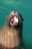 Sea Lion Yawn Royalty Free Stock Photos