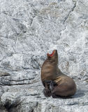 Sea lion Yawn on white stone Stock Image