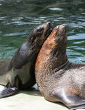 Sea lion  Zalophus Stock Photo