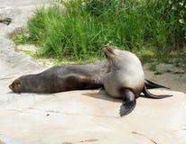Sea lion  Zalophus Royalty Free Stock Image