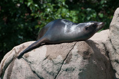 A sea lion is in a zoo Stock Photo