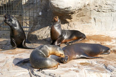 The sea lion in zoo evil roars. Among the rocks and water Royalty Free Stock Images