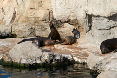 The sea lion in zoo evil roars. Among the rocks and water Stock Images