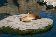 The sea lion in zoo sleeping. Among the rocks and water Stock Photos