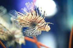 Sea lionfish Stock Images