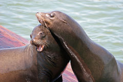 Sea Lions 11. Pair of Sea Lions on pier Stock Images