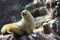 Sea lions. Closeup of two seal lions basking on rocks Royalty Free Stock Images