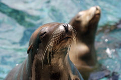 Sea Lions. A pair of very cute sea lions Stock Photo