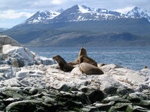 Sea lions. In the Beagel chanell, Chile Royalty Free Stock Image