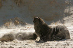 Sea lions 2. Sea lions at sand fly bay, Otago Peninsula, Dunedin, south island, New Zealand Royalty Free Stock Image
