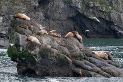 Sea Lions. Family of sea lions along the Kenai Peninsula in Alaska Royalty Free Stock Photos