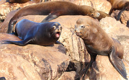 Sea Lions Royalty Free Stock Photography