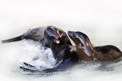 Sea lions. Playing together mother son father royalty free stock photography