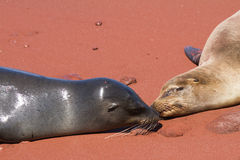 Sea Lions. Relaxing on the beach in the Galapagos Islands Ecuador royalty free stock images