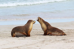 Free Sea Lions Stock Photography - 25614342