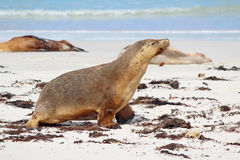 Free Sea Lions Stock Images - 25614754