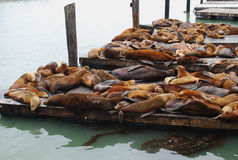 Sea lions. The sea lions in Pier 39 in San Francisco, California Royalty Free Stock Photo