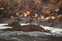 Sea lions. On a rocky beach Royalty Free Stock Image