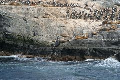 Sea lions. In an island, in beagle channel, close to ushuaia (argentina Stock Images