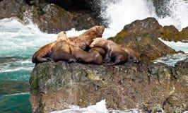 Sea Lions. Lounging along the coast of Alaska stock photo