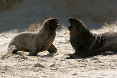 Sea lions 3 Royalty Free Stock Photography