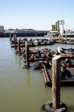 Sea Lions. California sea lions at Pier 39, San Francisco, CA Stock Images