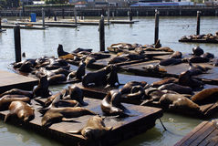 Sea Lions. California sea lions at Pier 39, San Francisco, CA Stock Image