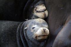 Free Sea Lions Stock Image - 3507071
