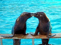 Sea lions. Outside the water kissing each other Royalty Free Stock Photo