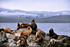 Free Sea Lions Stock Images - 53184054